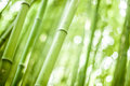 Stock Photography Bamboo forest