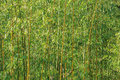 Bamboo forest wall. Royalty Free Stock Photo