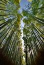 The bamboo groove in Sagano. Arashiyama. Kyoto. Japan Royalty Free Stock Photo