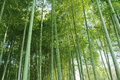 Bamboo grove Royalty Free Stock Photos