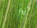 Bamboo grove. Royalty Free Stock Image