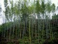 Bamboo grove on the hillside vibrant thrive Royalty Free Stock Image