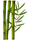 Bamboo isolated on white background. Stock Photography
