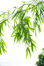 Bamboo leaves Royalty Free Stock Image