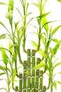 Bambú follaje