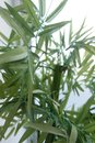 Bamboo leaves background On the white table near the window