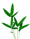 Bamboo leaves isolated. Royalty Free Stock Photo