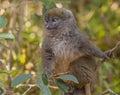 A bamboo lemur image taken at vakona lodge madagascar Royalty Free Stock Images
