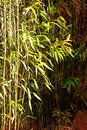 Bamboo in light and shade plant Stock Photography