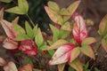 Nandia Bamboo Leaves Royalty Free Stock Photo