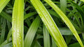 Bamboo palm leaves with water drop