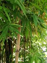 Bamboo plants Royalty Free Stock Photo