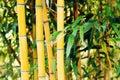 Bamboo plants Royalty Free Stock Photo
