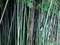 Bamboo plants in nature Royalty Free Stock Photo