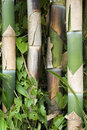 Bamboo Shoots Stock Photo