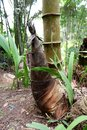 stock image of  bamboo shoots that grow next to cut bamboo stems