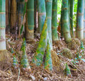 stock image of  Bamboo shoots