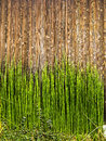 Bamboo shots on wood green shoots fence Royalty Free Stock Images