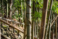 stock image of  Bamboo with Spiraling Vine