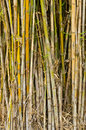 Bamboo stalks tropical forest Royalty Free Stock Image