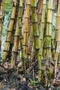 Bamboo stems Royalty Free Stock Photos