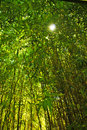 Tall bamboo forest with the sun peeking through the top Royalty Free Stock Photo