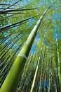 Bamboo Tall Royalty Free Stock Photo