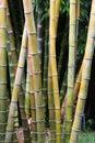 Bamboo thicket Royalty Free Stock Photo