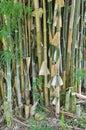 Bamboo tree closeup in garden Stock Photography