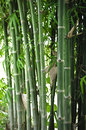 Bamboo tree in the garden closeup Royalty Free Stock Photography