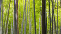 Bamboo tree trunks on a deep green forest in kyoto japan Royalty Free Stock Photo