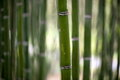 Bamboo tree trunks forest green Stock Image