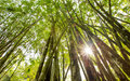 Bamboo tree vi in the tropical forest Stock Image