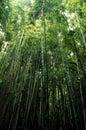 Bamboo trees Royalty Free Stock Photo