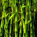 Bamboo trees Stock Images