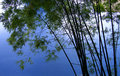 Bamboo trees in grove  Royalty Free Stock Photography