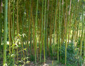 Bamboo trunks vertical smooth green in the woods next to grow Royalty Free Stock Photo