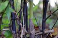 Bamboo turning black