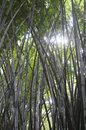 Bamboo zhe photo of the Stock Photo