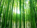 Bamboos Royalty Free Stock Photography