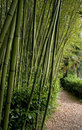 Bambu forest Stock Image
