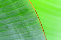 Banana banana tree leaf tropical leaves leaf isolated Stock Photography