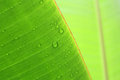 Banana banana tree leaf tropical leaves leaf isolated Stock Images