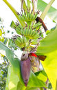 Banana blossom on banana tree growing Royalty Free Stock Photo