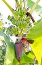 Banana blossom on banana tree growing Royalty Free Stock Photo