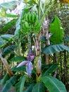 Banana blossom, flower and green bananas on banana palm tree Royalty Free Stock Photo