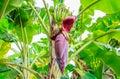 Banana blossom on the tree stock photo thailand Stock Images