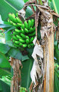 Banana bunch on tree in the garden at the philippines Royalty Free Stock Photo