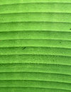 Banana Green Leaf Detail.