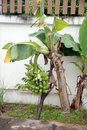 Banana growing out the side of fence picture focus Royalty Free Stock Photos